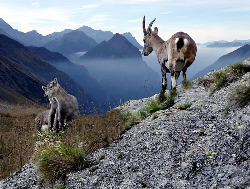 Chamois With Young Animals