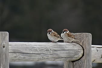 Brown and white bird on brown wooden fence