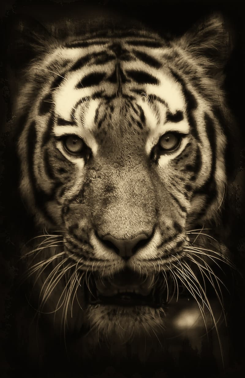 Grayscale photo of tiger with black background