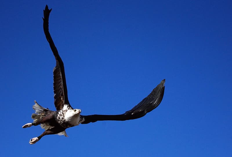 Low angle photo of black and white flying eagle