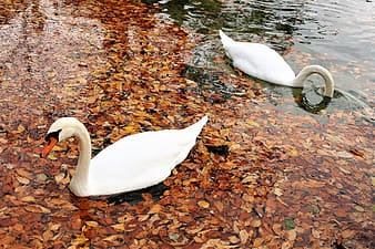Two white swans swimming on the water