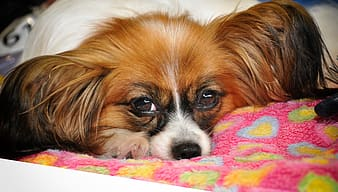 Brown and white long haired chihuahua lying on pink textile