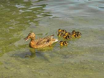 Brown duck and ducklings on body of water at daytime
