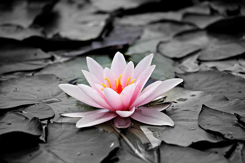Selective photography of lotus flower