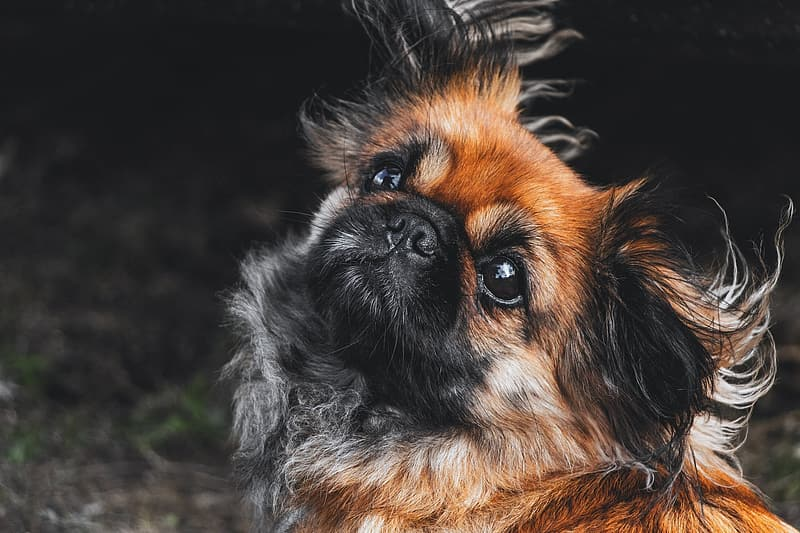Closeup photography of adult tan and black Pekingese