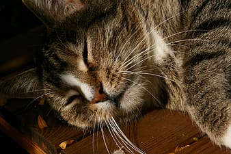 Brown tabby cat lying on brown wooden table