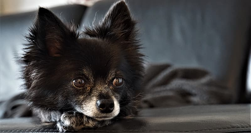 Brown pomeranian puppy on brown couch