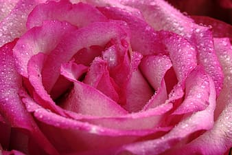 Close up photo of pink rose with water dew