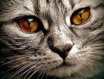 Close up photo of gray Tabby Cat