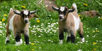 Two kid goats on grass field