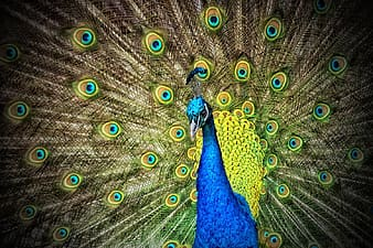 Blue and green peafowl wallpaper