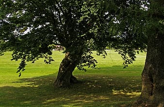 Two green leafed trees during daytime
