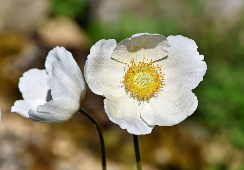 Two white petaled flowers in selective focus photography