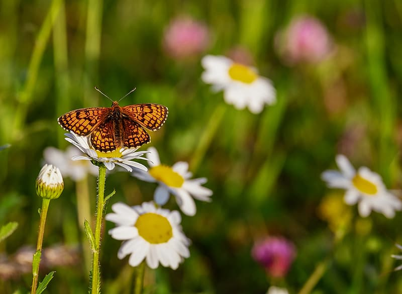 Shallow focus photography of brown butterfly on white daisy