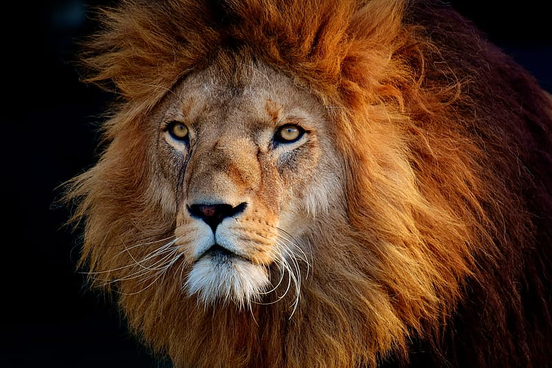 Photo of brown lion's head