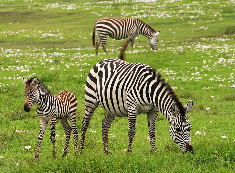 Three zebras on field with green grass during daytime