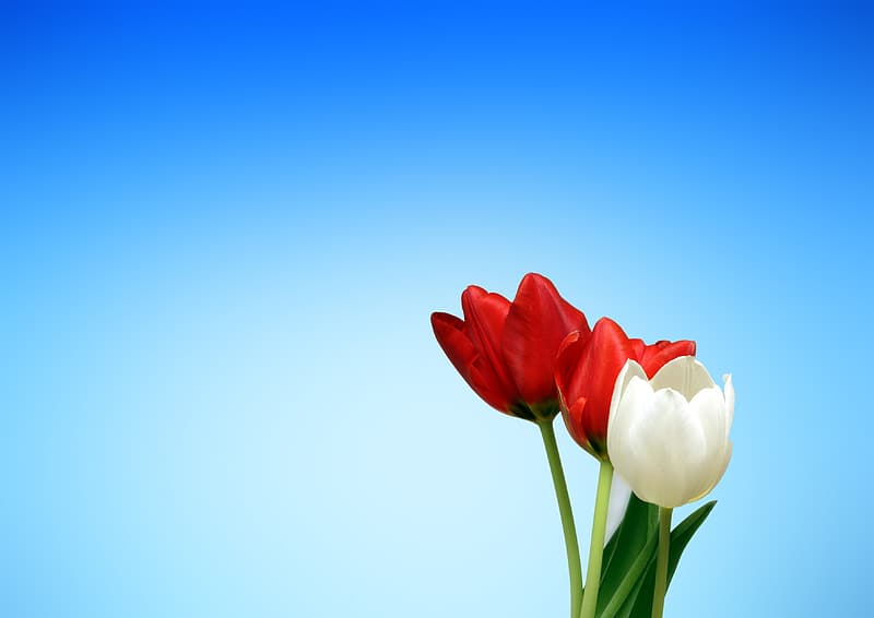 Three red and white tulip flowers