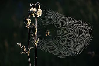Brown and black spider on web