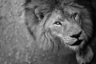 Gray scale lion