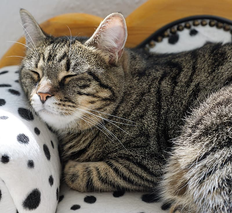 Grey And Brown Tabby Cat Sleeping On White And Black