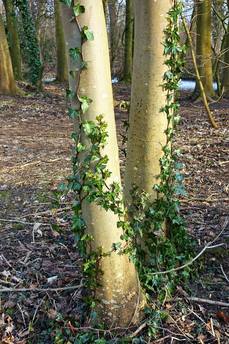 Two tree trunks covered with plant