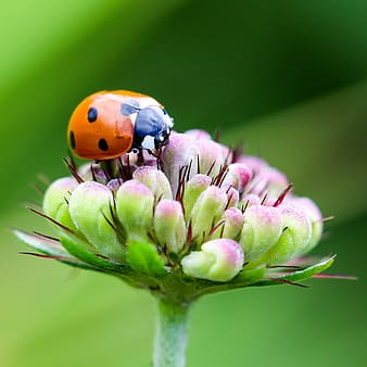 Orange and black ladybug perched on green and pink flower in closeup photo