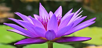 Purple waterlily selective-focus photo