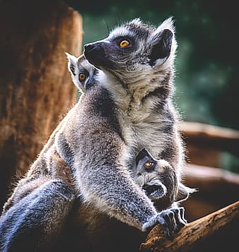 Gray and white lemur on brown tree trunk during daytime