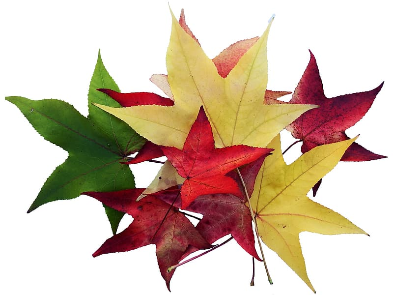 Yellow, red, and green maple leaves
