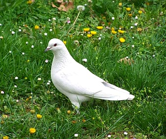 White dove on green grass with flowers