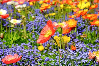 Red and yellow poppies and purple flower field