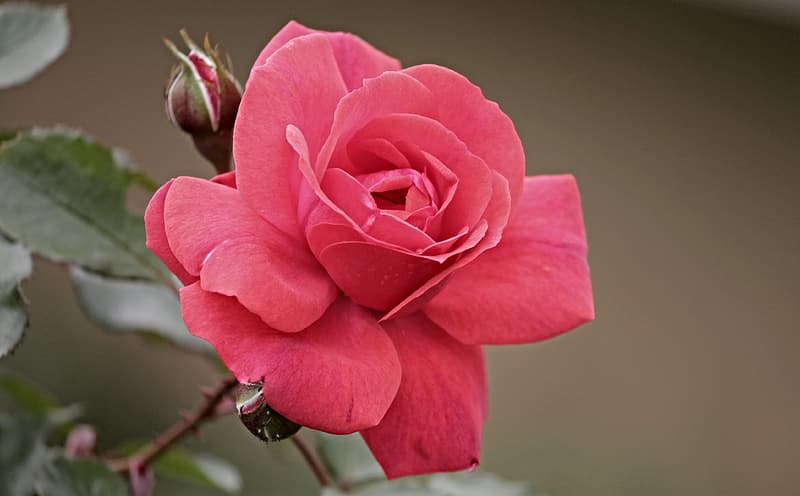 Close up photo of red rose