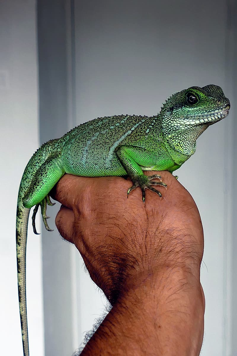 Green lizard on person hand