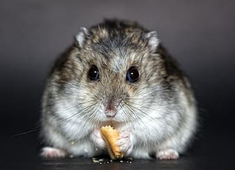 Mouse eating biscuit