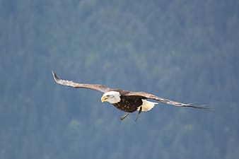 Bald Eagle on mid air during daytime