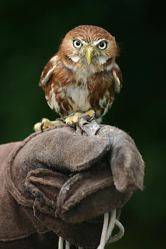 Owl perched on leather gloves photography