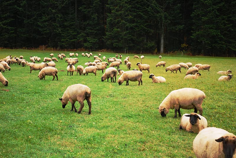 Herd of sheep in green field during daytime