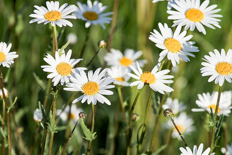 Shallow focus photo of white daisy flowers