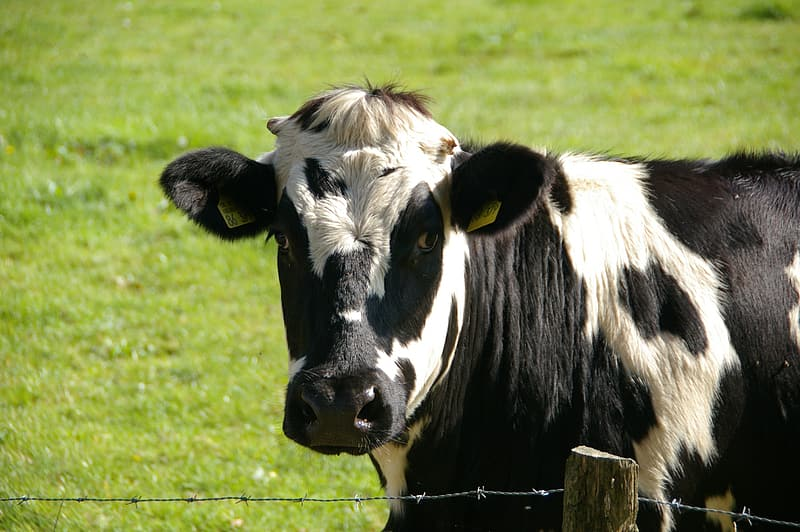 White and black cow near wire fence