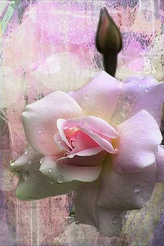 Close-up photo of pink rose