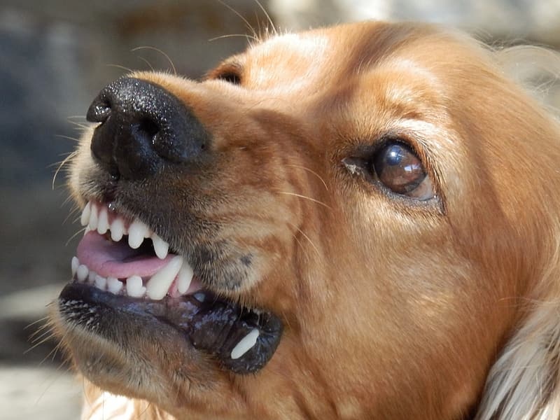 Close up photo of brown short coated dog's face