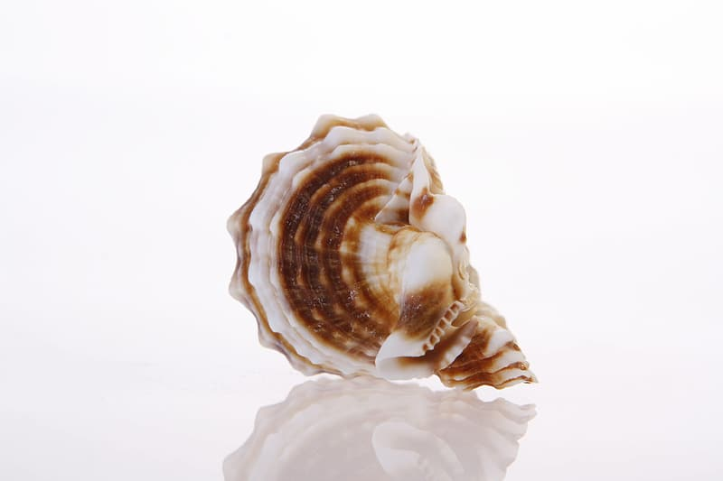 White and brown seashell on white surface