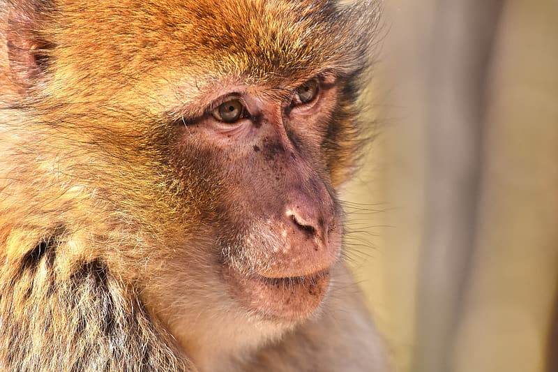 Selective focus photography of brown monkey