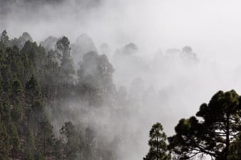 Green forest trees covered with fog