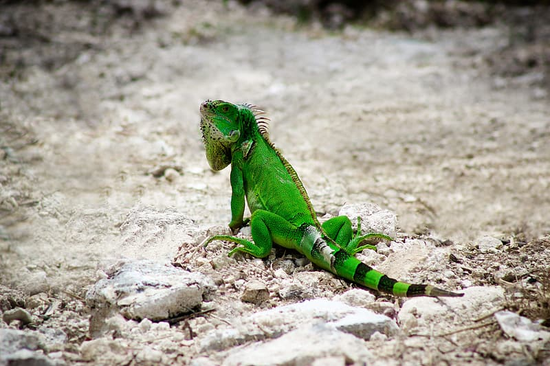 Green and white iguana on gray rock