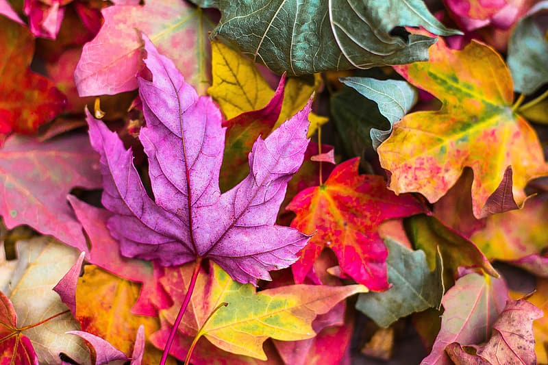 Assorted-color maple leaf lot