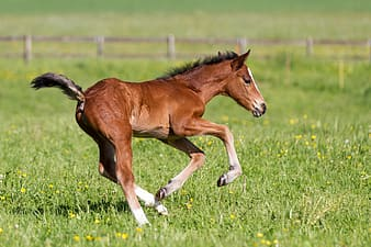 Brown pony galloping