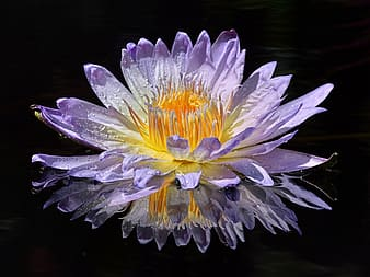 Purple and yellow waterlily flower in bloom