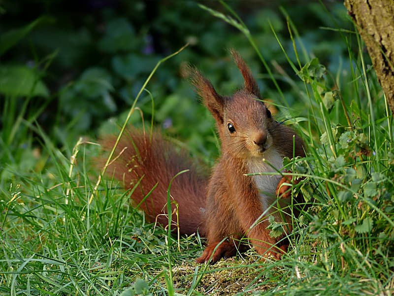 Red squirrel on green grass field