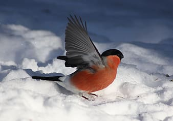 Selective focus photography of common bullfinch